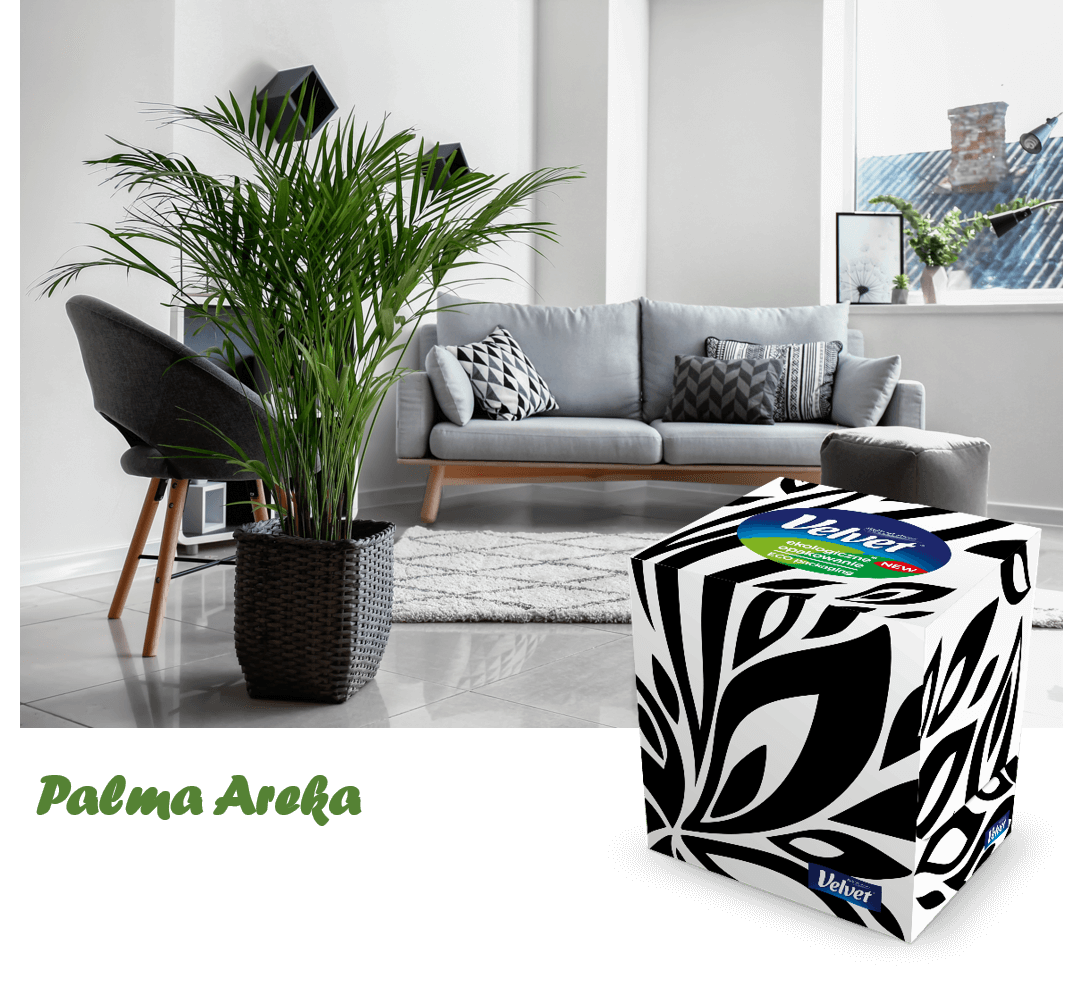 Nowoczesna, szara kanapa, fotel oraz roślina doniczkowa - prezentacja chusteczek higienicznych Velvet w biało-czarnym pudełku