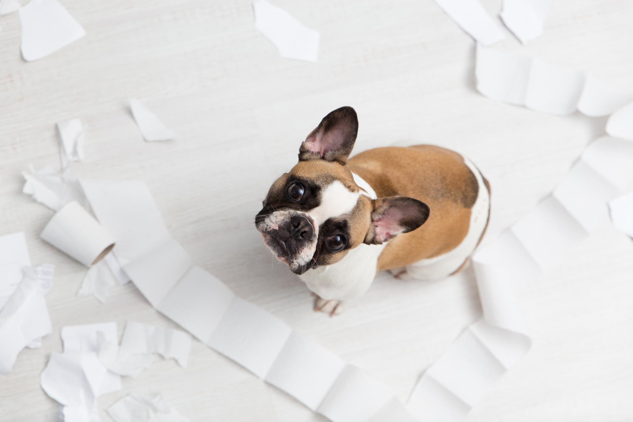 Pies siedzi na podłodze wśród listków ręcznika papierowego – usuń zbędną sierść z domu przy użyciu ręcznika papierowego Velvet.